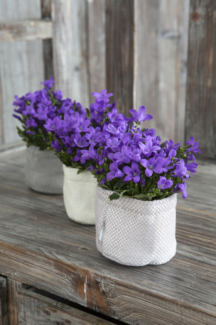 Yndige Mini-Campanula i små grow-in selvvanningspotter: http://www.mestergronn.no/blogg/grow-in-potter-i-nye-farger/