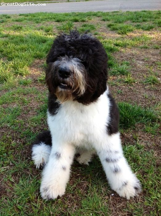 Saint Berdoodle, 9 months old, black and white