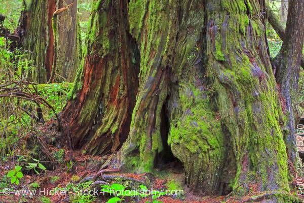 stock photo: Cedro vermelho árvore nacional de Pacific Rim Vancouver Island British Columbia Canadá