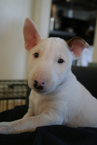 This bull terrier dog is too cute!
