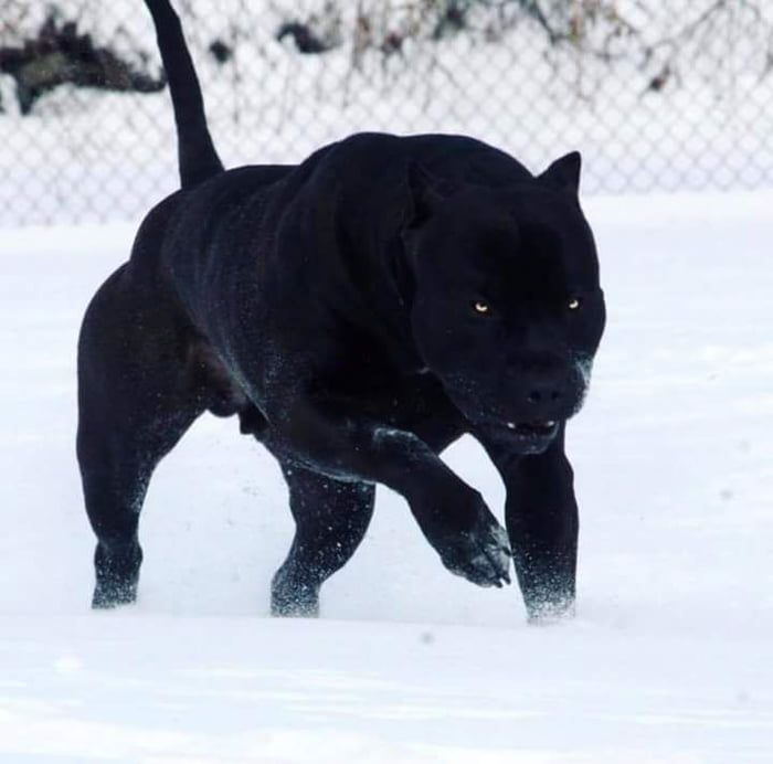 Most Panther Looking Dog Ever Dogs Mexican Hairless Dog