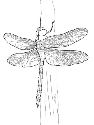 Click to see printable version of Green Darner Dragonfly coloring page