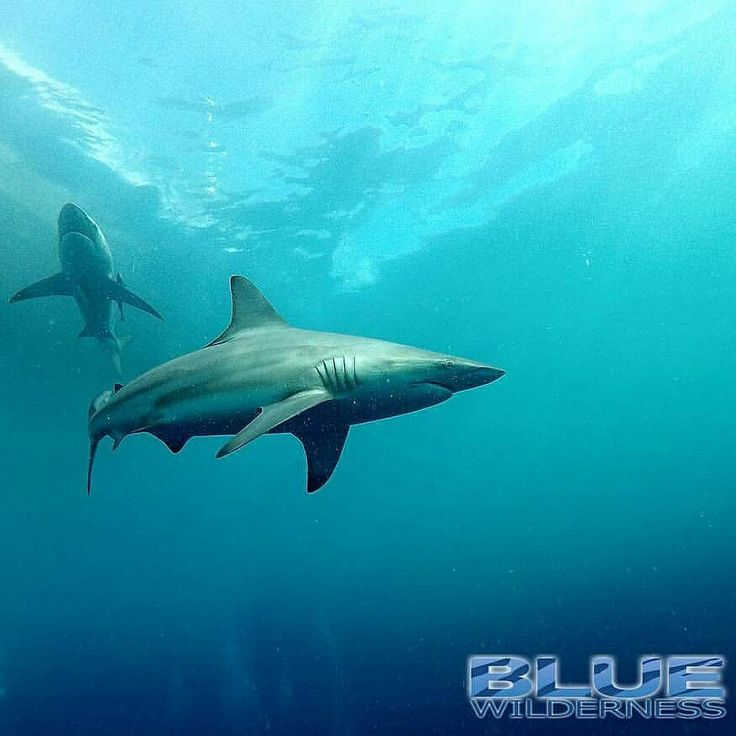 Our shark dive interns have been getting amazing vis, sea conditions and best of all, incredible shark activity.