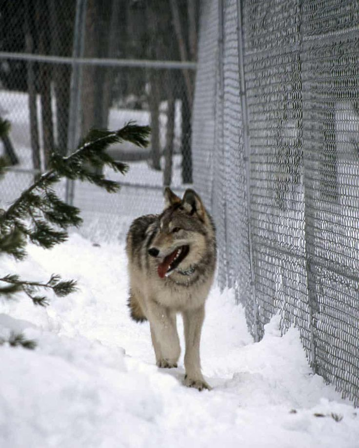 A rewilding triumph wolves help to reverse Yellowstone