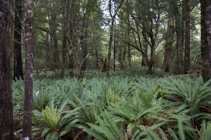 The New Zealand Silver Fern in its  natural habitat.  (The underside is silver; when the plant rolls up for the night, it's as if the whole forest is carpeted in shimmering silver.)