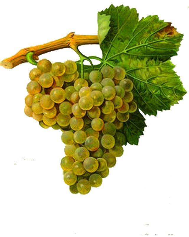 Macabeo Wikipedia White Wine Grapes Wine From Spain Natural Wine