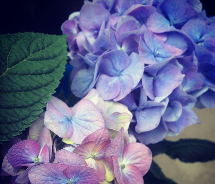 Shades+of+BloomStruck®+Hydrangea