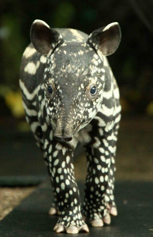 Belfast Zoo's latest addition, a little Malayan tapir