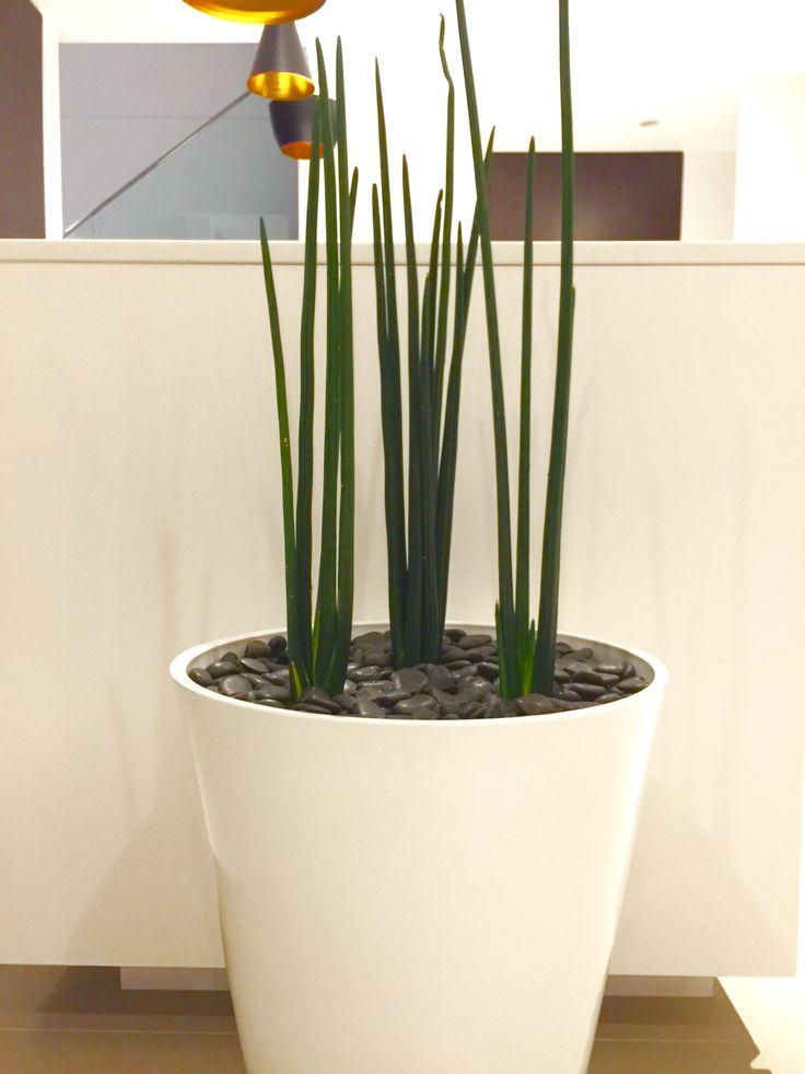 Sansevieria Schweinfurthii also known as Sansevieria Erythraeae