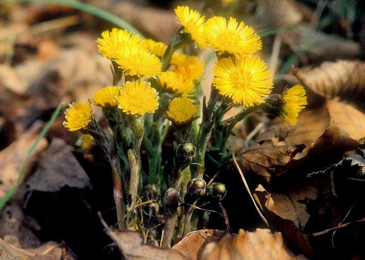 Huflattich - von März bis April die Blüten mit dem Fingernagel abknipsen und trocknen (Jahresbedarf) - 2 Blüten bei Husten als Tee aufkochen