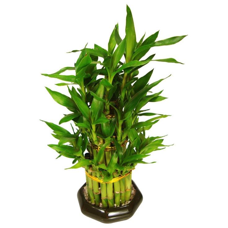 Bambu da sorte bonsai... eu quero mto!!!