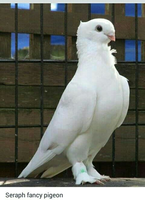 Pin by Rumana on Bird & Other Animals | Pet birds, Pigeon ...