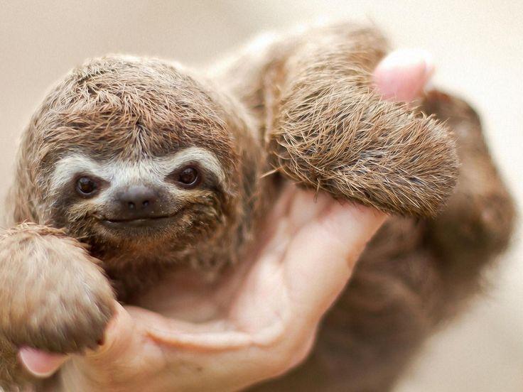 <3 a baby sloth! Cute!!