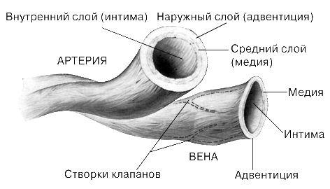 Кровеносная система | lemur59.ru