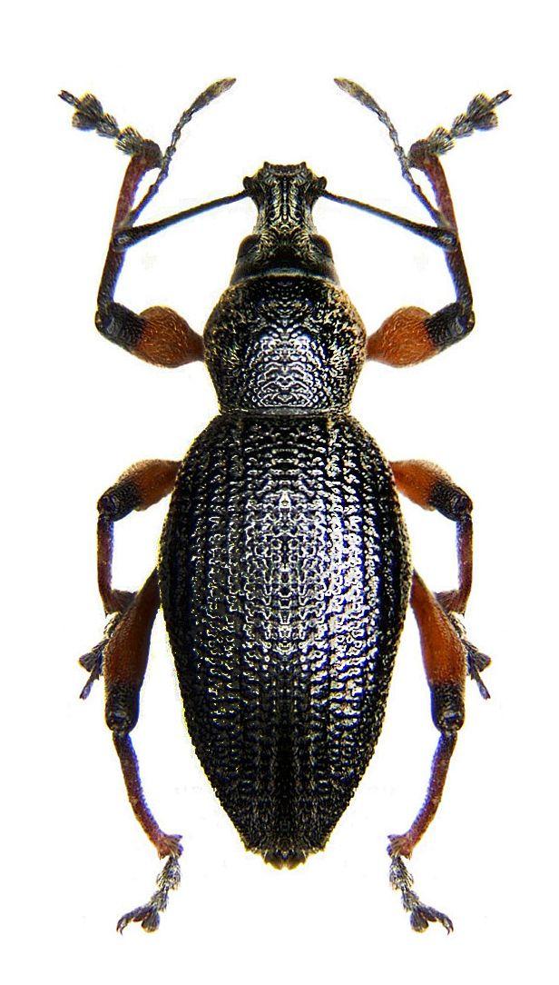 Otiorhynchus sensitivus