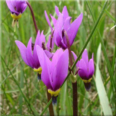 Shooting Star (Dodecatheon pulchellum) Alberta native perennial wildflower - zone 3