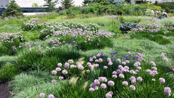 A planting of Carex flacca and Allium 'Summer Beauty' with a backdrop of Calamintha nepeta ssp. nepeta.  These three plants fill in promptly and really minimize weeding through the summer.