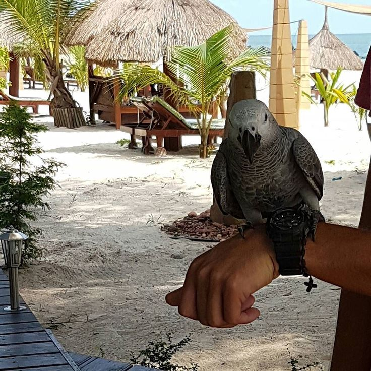Symbole de tout un pays... Bon lundi de pentecôte  #sunnyday #monday #sharegoodvibes #goodvibes #happy #picoftheday #naturelovers #beachmood #241 #naturelovers #parrot #birdslovers #nofilter #nofilterneeded #sealovers #beachlovers by sonysunn http://www.australiaunwrapped.com/