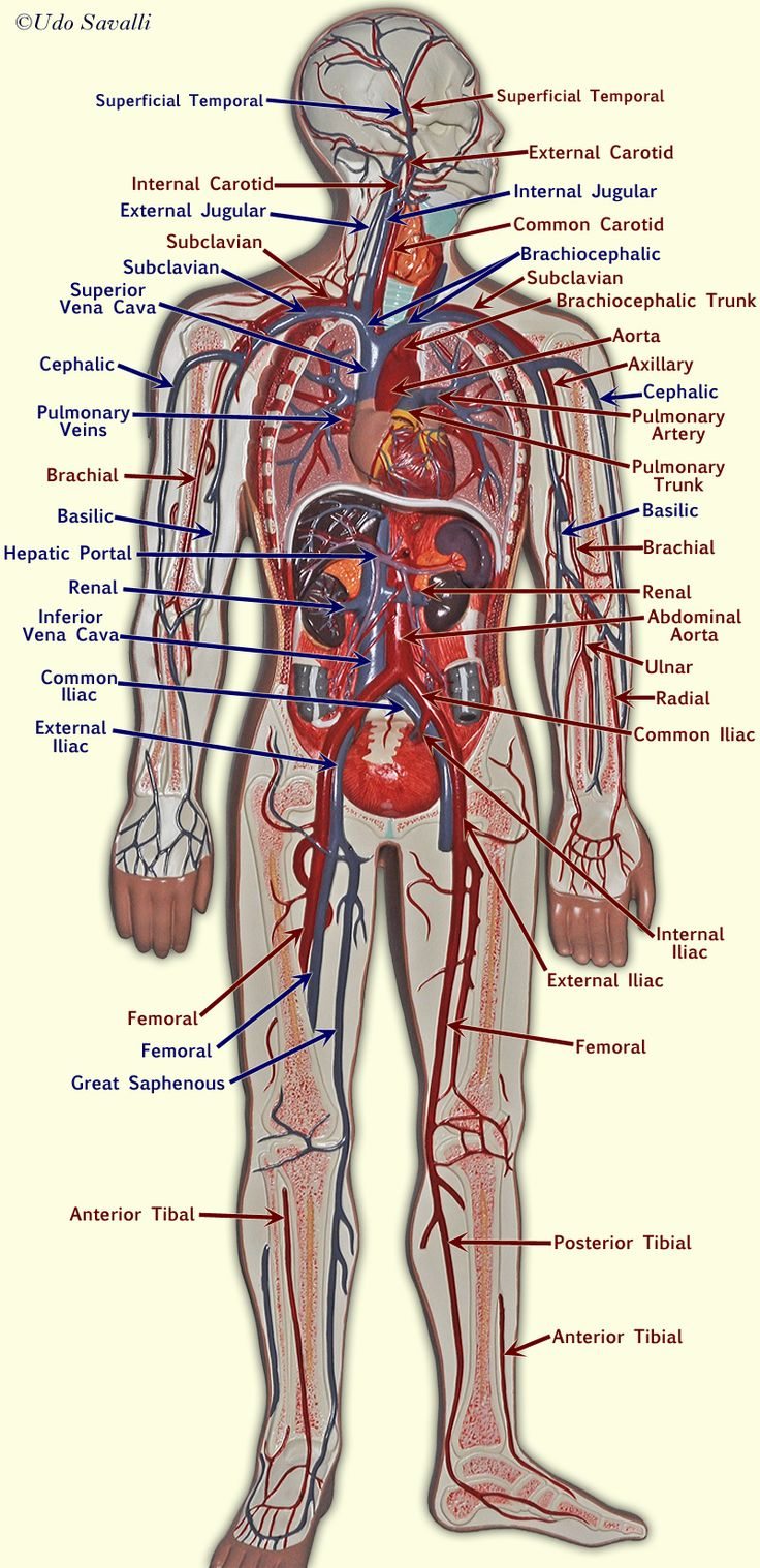 Best 25+ Blood vessels ideas on Pinterest | Blood vessels ...