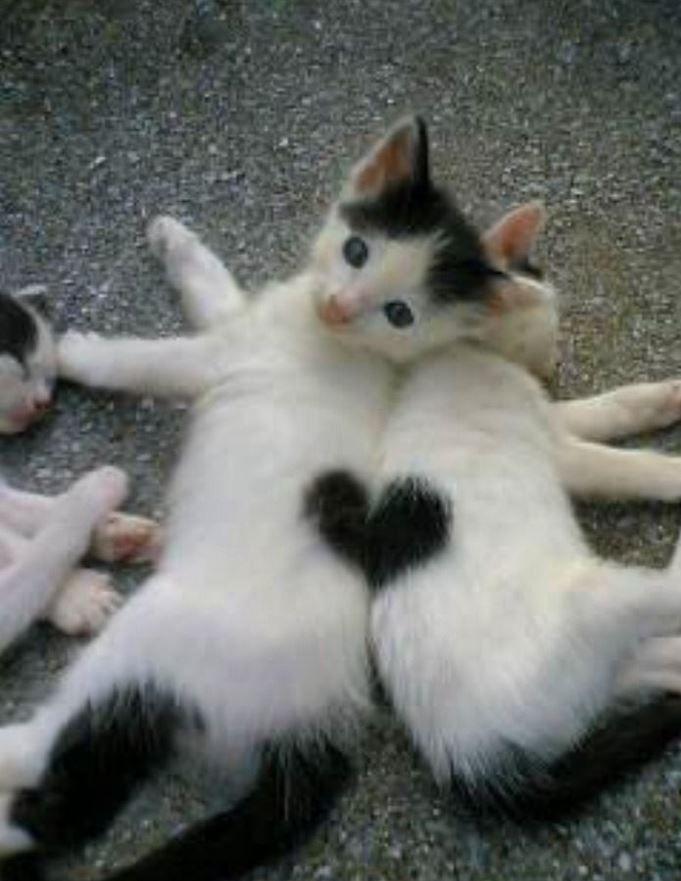 Le pelage de ces deux chats couchés côte à côte forme un coeur ! Si ce n'est pas mignon Article publié pour la première fois le 13/11/2014