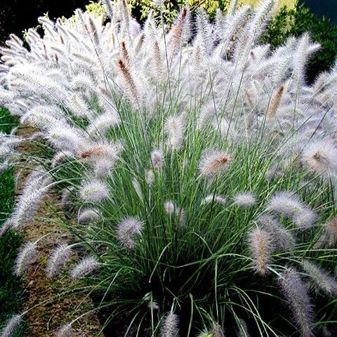 Dwarf Fountain Grass, Pennisetum alopecuroides 'Hameln' looks like a spray of thick, dark green foliage sprouting gracefully from the ground. Compact and round, the stems elegantly arch on all sides g