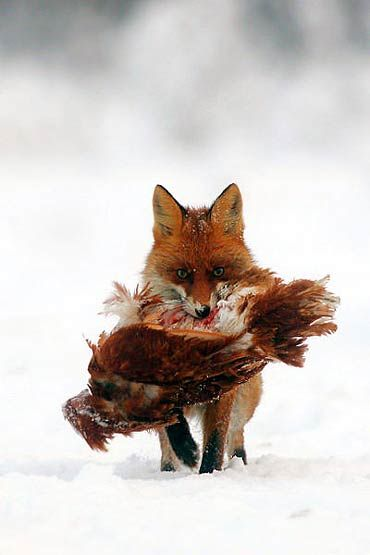 hunting fox....Reminds me of Lord of The Rings. I don't like it, but I can't stop looking at it.