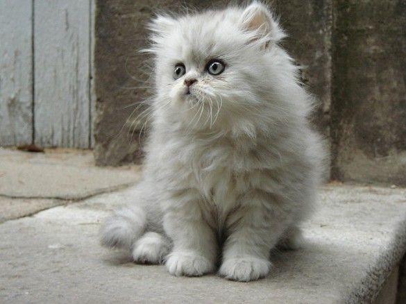Gato Persa: Características e Cuidados • Mundo dos Animais