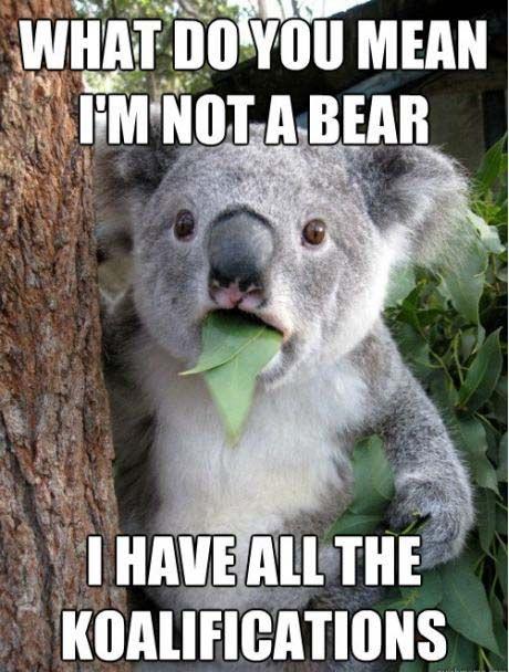 hilarious:  Phascolarcto Cinereus, Koalabear,  Native Bears, Funny,  Koalas Bears, Humor, Funnies,  Kangaroos Bears, Animal