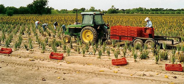 Aloe King Farm Fresh Aloe Vera Juice and Aloe Vera Leaves from www.AloeKing.com in Mercedes, Texas