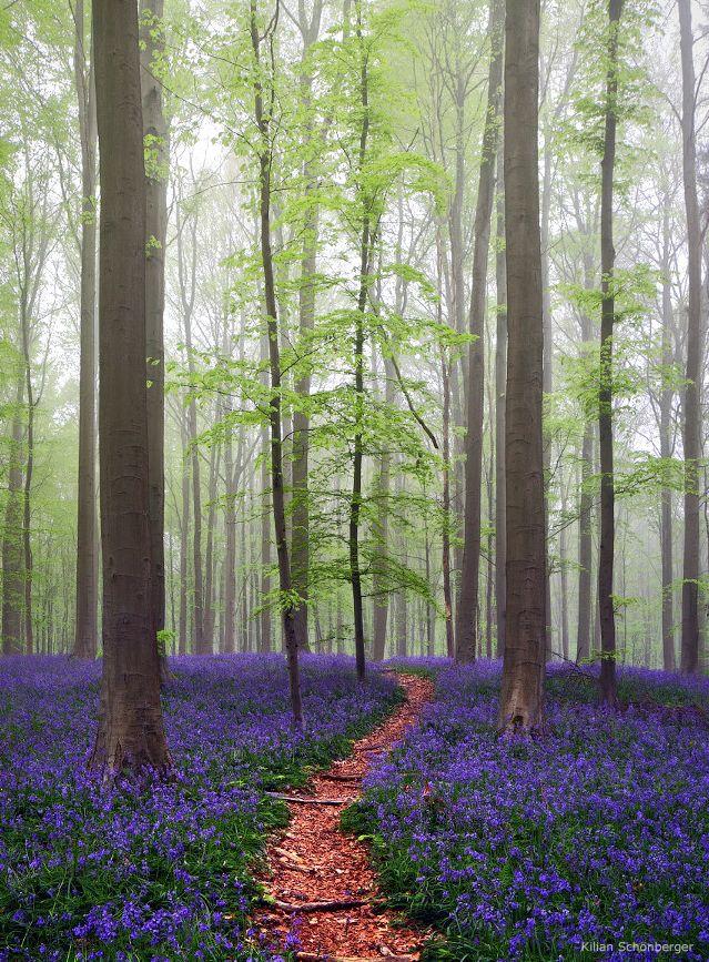 Hallerbos (ou Bois dest une forêt qui  se situe en périphérie bruxelloise. Son épais tapis de fleurs de jacinthe donne l'impression que cette forêt sort tout droit d'un conte de fées.