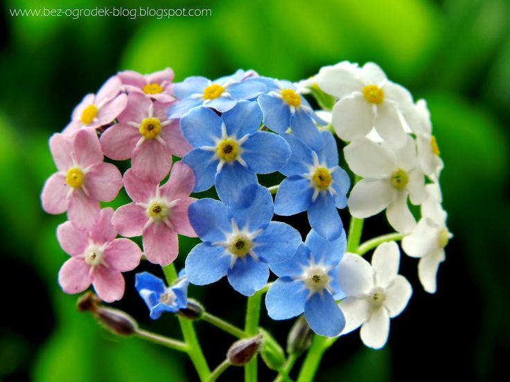 Forget-me-nots: blue, pink and white variety