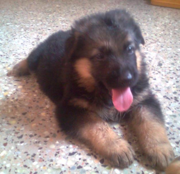 german shepherd puppies price in india | Zoe Fans Blog