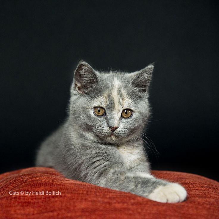 Britisch Kurzhaar Kitten / 5