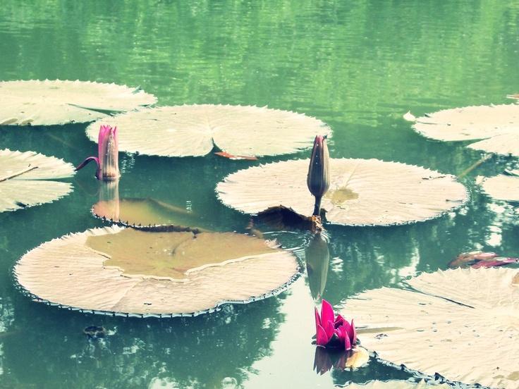 Lotus at Bogor Botanical Park - Indonesia