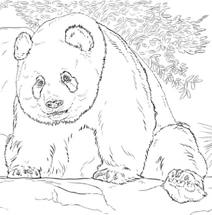 realistic panda coloring pages  panda coloring pages