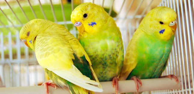 La muda en los canarios, periquitos y pájaros de jaula | Diario ...