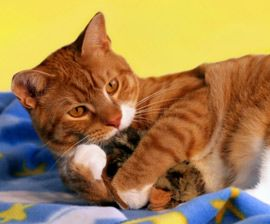 Cat Toys :  Learn how to pick, or make, the best toys for your cat or kitten and even how to play along.