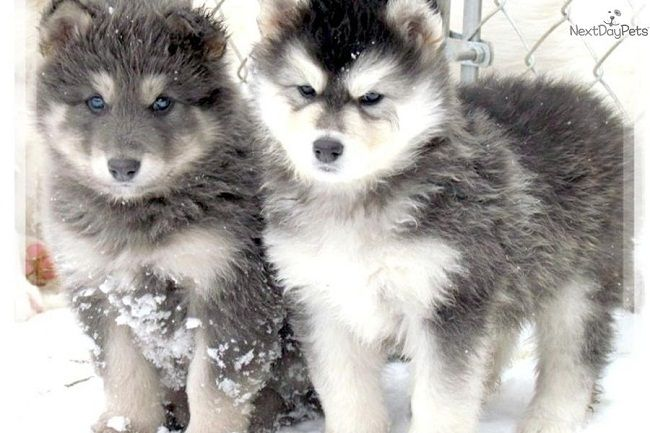 alaskan husky wolf mix puppies | Zoe Fans Blog