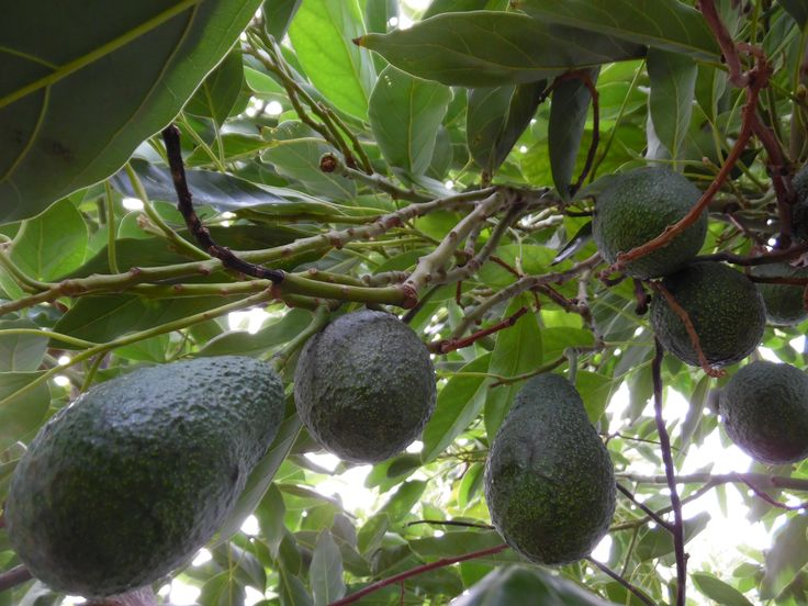 Hass Avocados ready for picking Soften off the tree