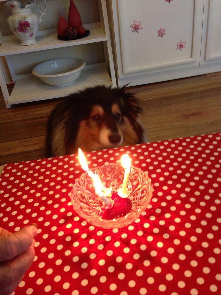 Flynn the sheltie's birthday