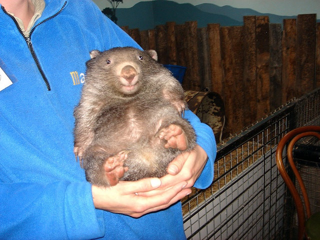 8 month old Wombat by dabalto, via Flickr