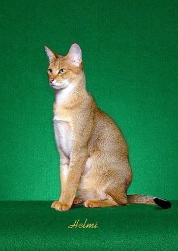 F1 Chausie Cats | Wildkatz Bwana Bushwah an F1 Chausie