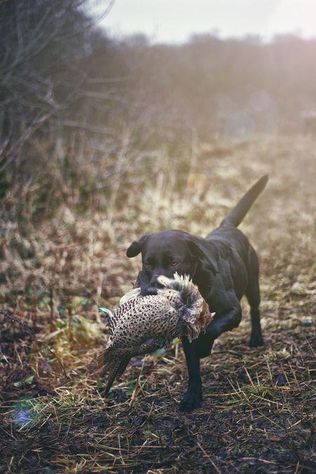 The Pheasant shooting season UK Photo by Morgan Marinoni -- National Geographic Your Shot