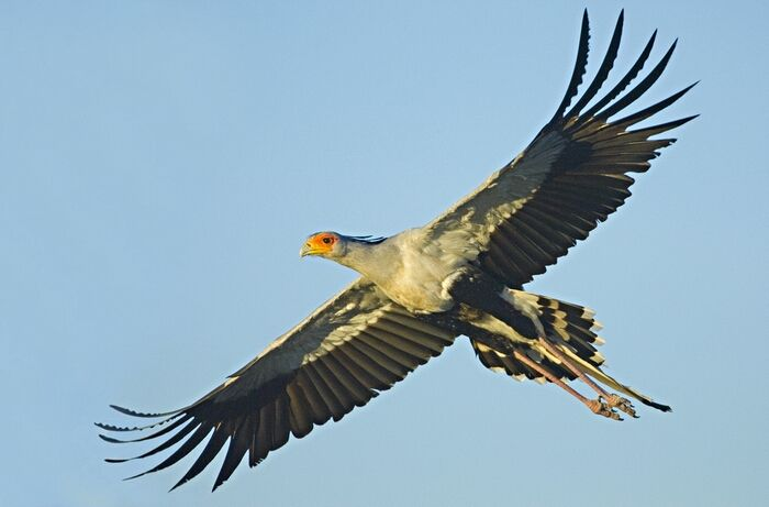 Secretary bird flying....