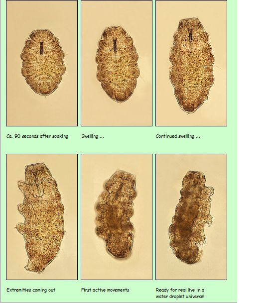 Tardigrade Scale