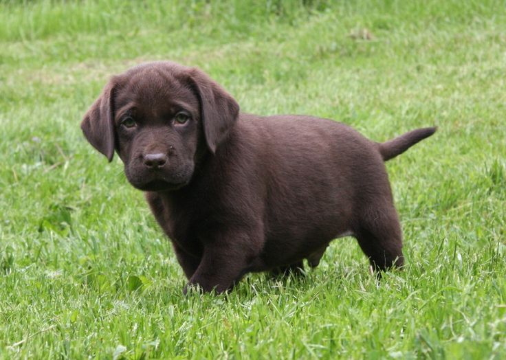 Chocolate Lab Retriever Breeders | Hidden Pond Labradors
