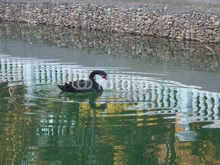 Черный лебедь на озере в парке, отражения в воде