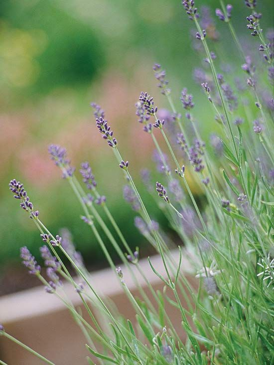 A favorite of gardeners everywhere, lavender is one of the best-smelling plants you can grow. (Plant it next to pathways where you can brush by and enjoy the relaxing scent.) It's also one of the prettiest garden plants, bedecked in silvery foliage and gorgeous purple blooms. Plant Name: Lavandula selections Growing Conditions: Full sun and well-drained soil Size: To 3 feet all and 4 feet wide, depending on type Zones: 5-10, depending on type