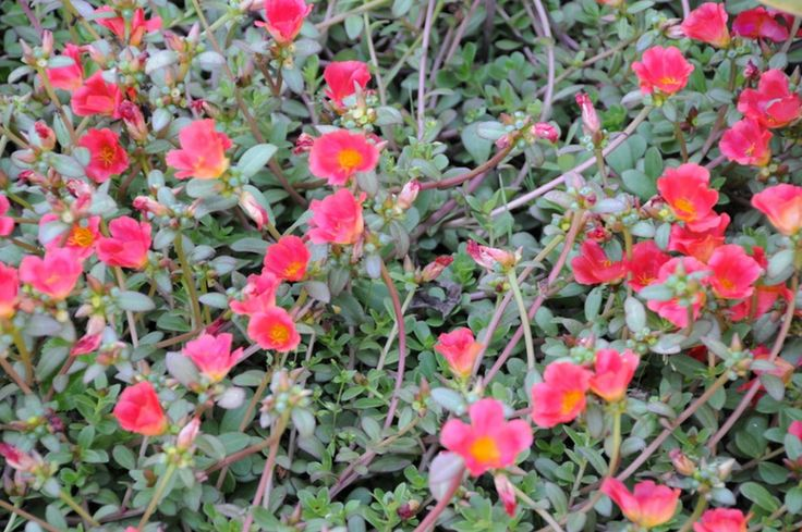 Annuals For Sunny Dry Sites Cascading Borders Planters