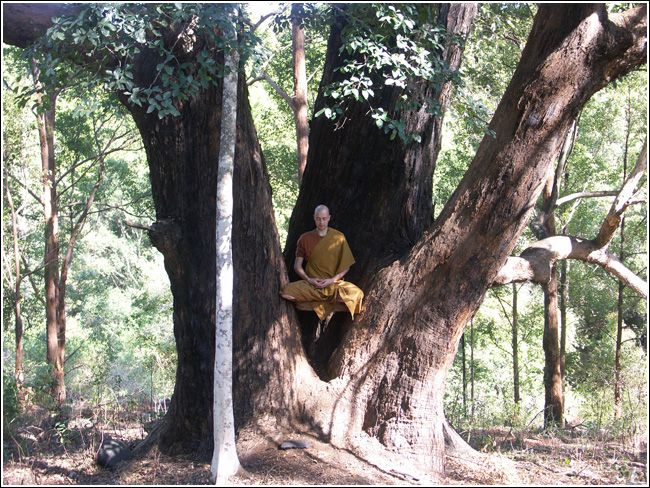 bodhi tree images - Google Search